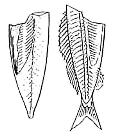 魚のさばき方 二枚おろし④